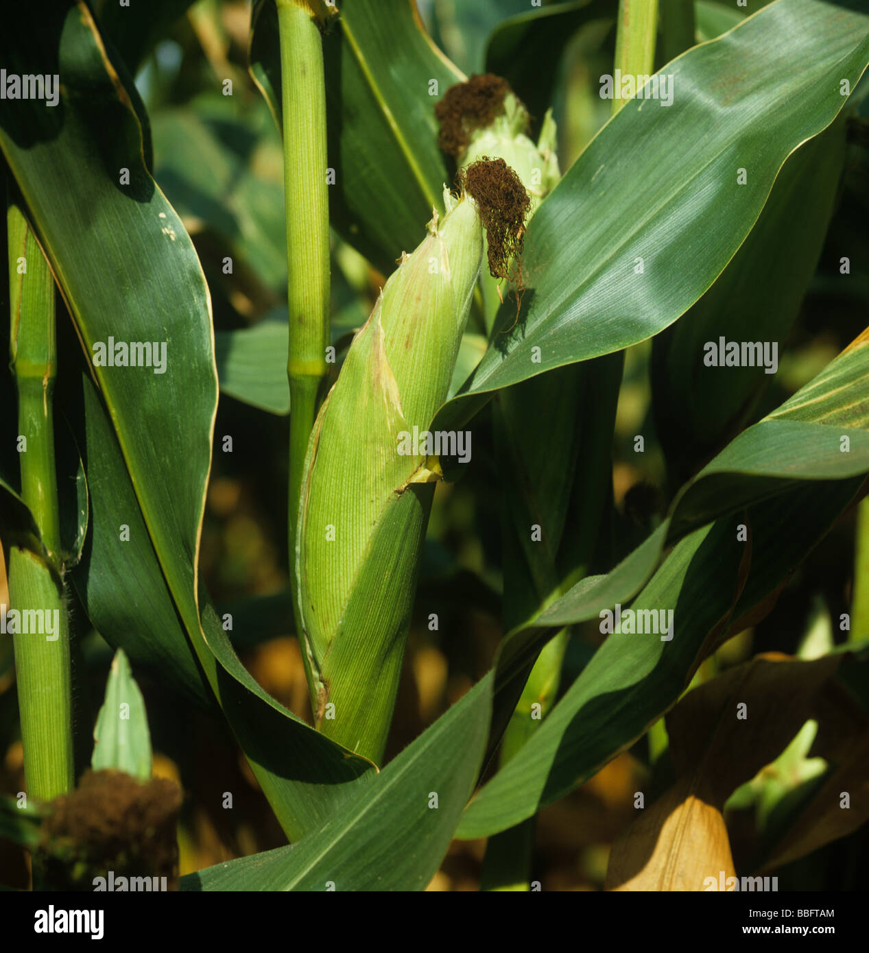 Mature maize cob and fertilized female receptors on the crop plant - Stock Image