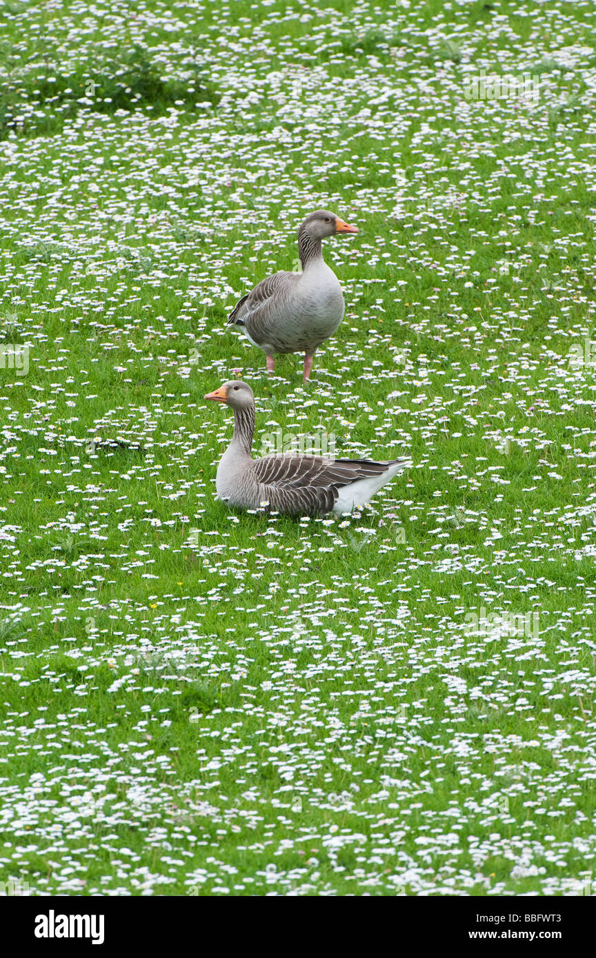 Anser anser. Greylag Geese in amongst daises. Isle of Harris, Outer Hebrides, Scotland - Stock Image