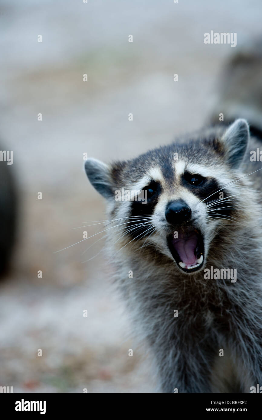 Raccoon behavior. - Stock Image