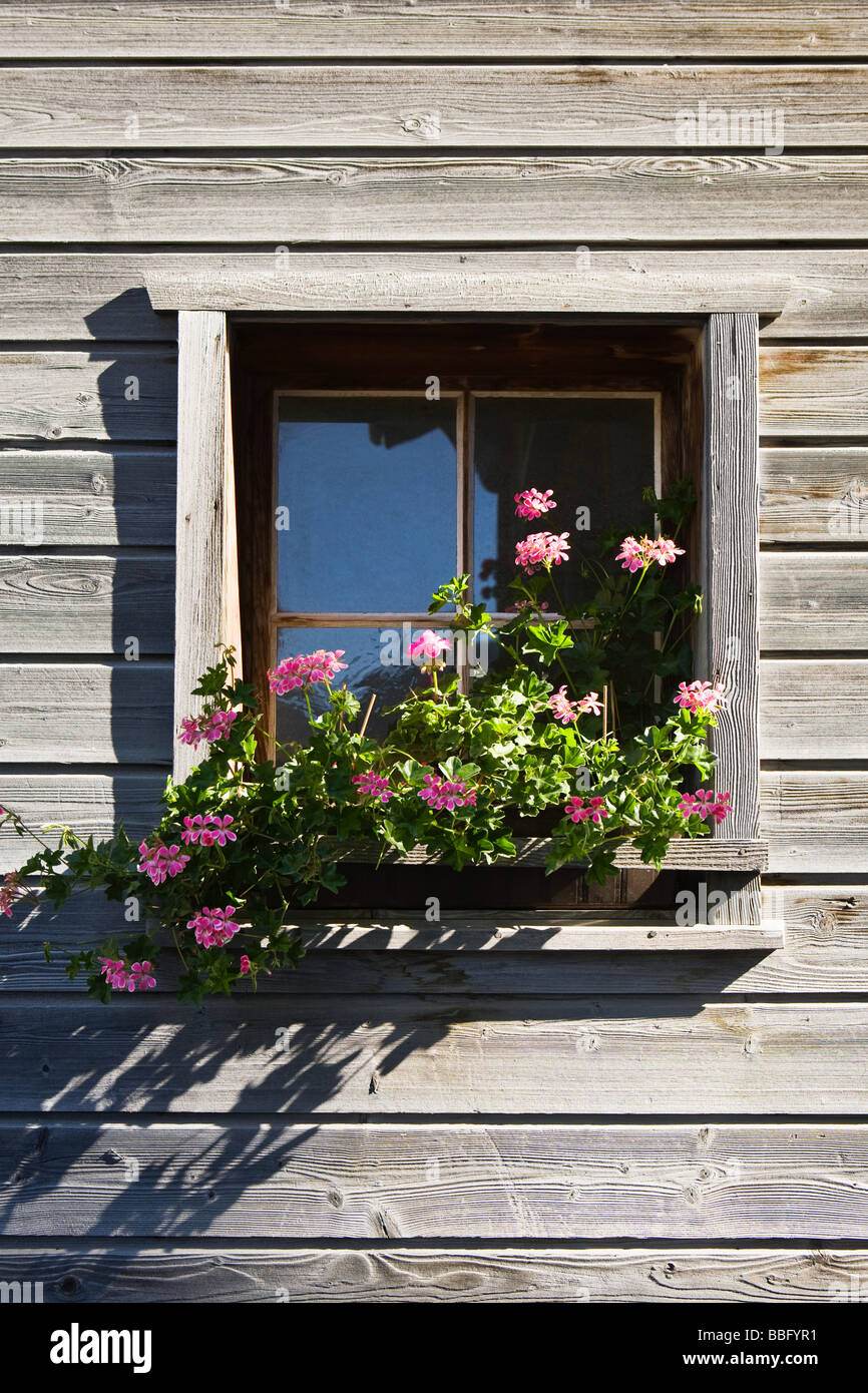 Pink geraniums in a window box of a wooden house in vals - Stock Image