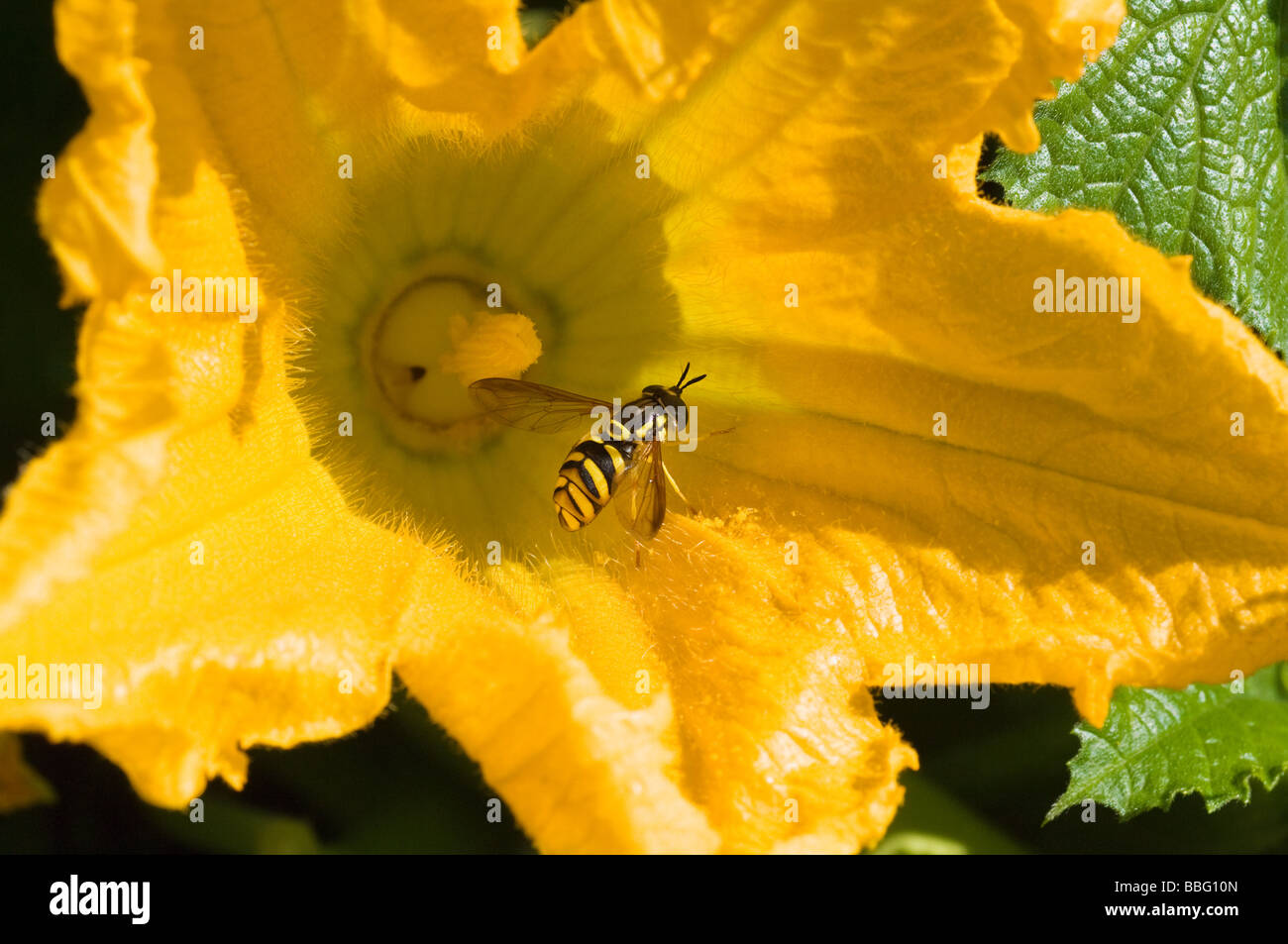 Hoverfly on a flower - Stock Image