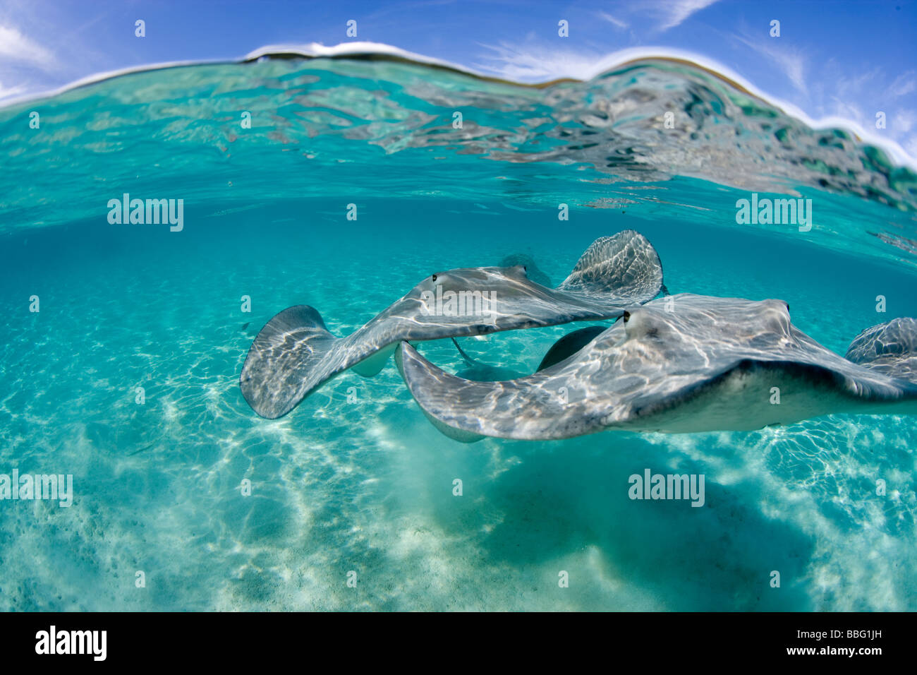 Over/under of stingrays. - Stock Image