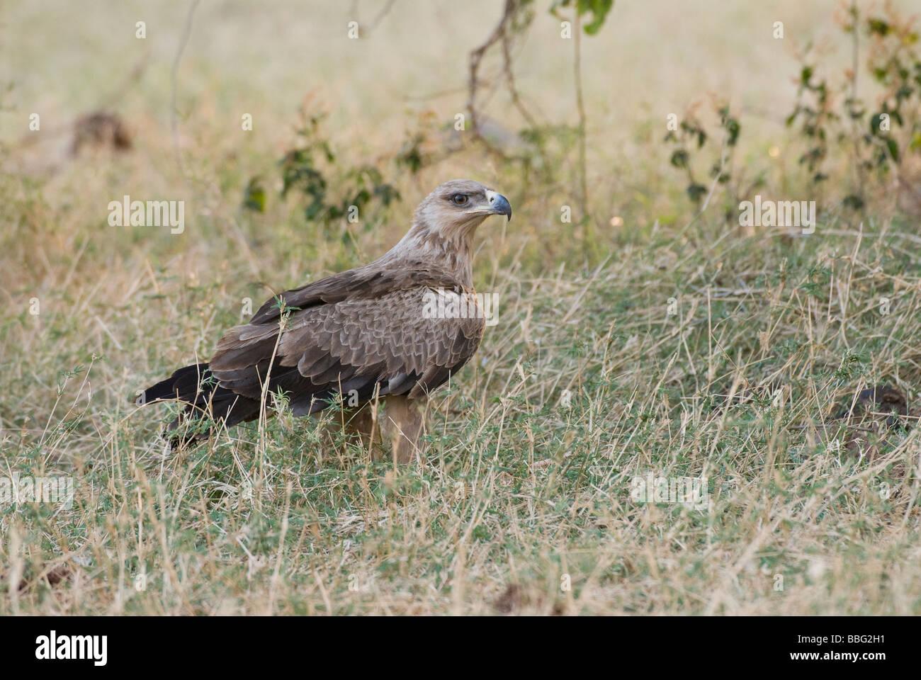 Tawny Eagle, Aquila rapax, SAMBURU NATIONAL RESERVE KENYA East Africa - Stock Image