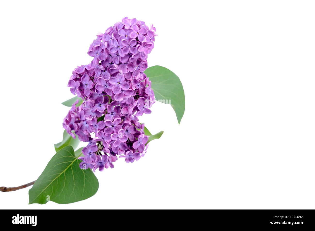 Purple Lilac (Syringa) Stock Photo