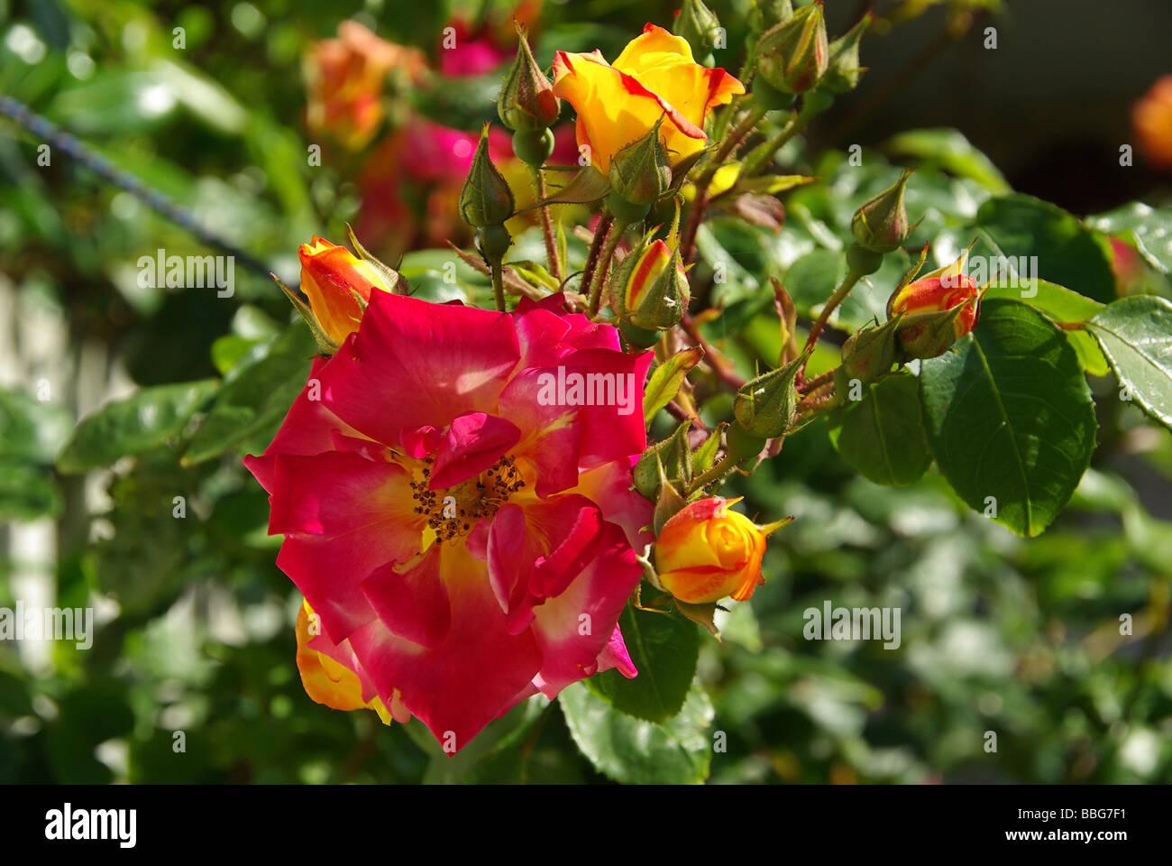 Rose 25 Stock Photo