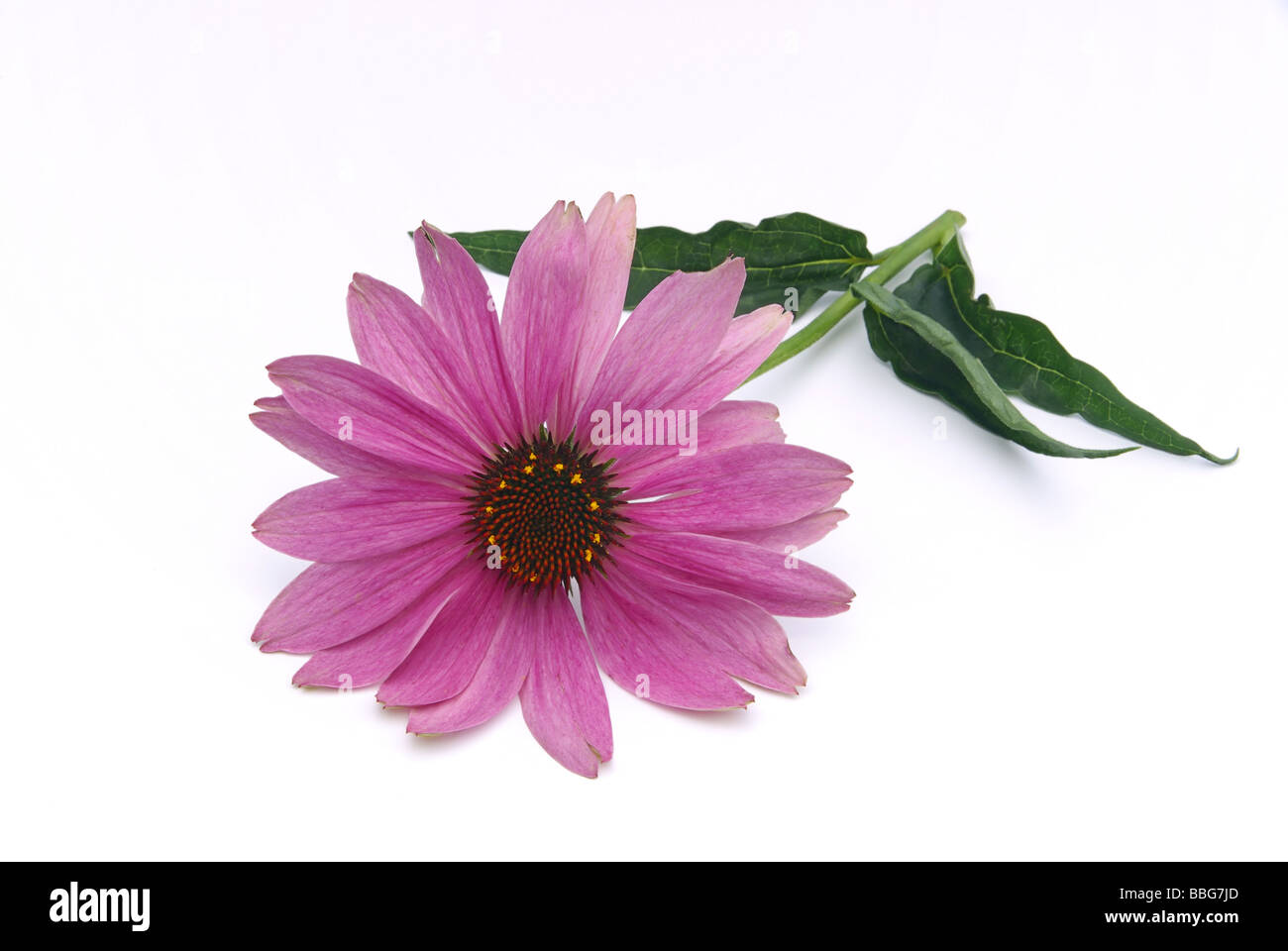 Sonnenhut Purpur Purple Coneflower 10 - Stock Image