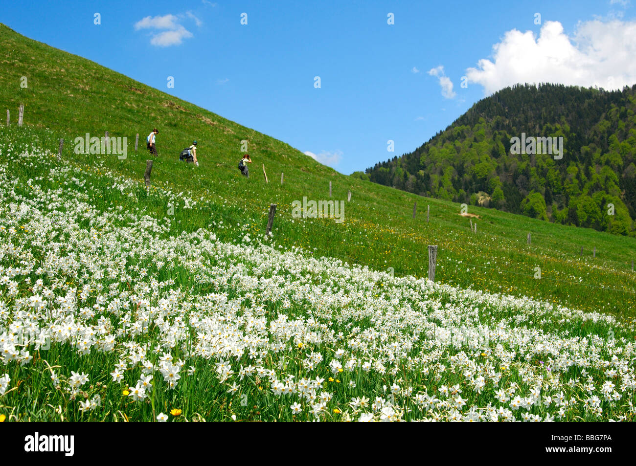 Hikers passing a mountain meadow in spring with blooming white narcissus, Montreux-daffodil (Narcissus poeticus), - Stock Image
