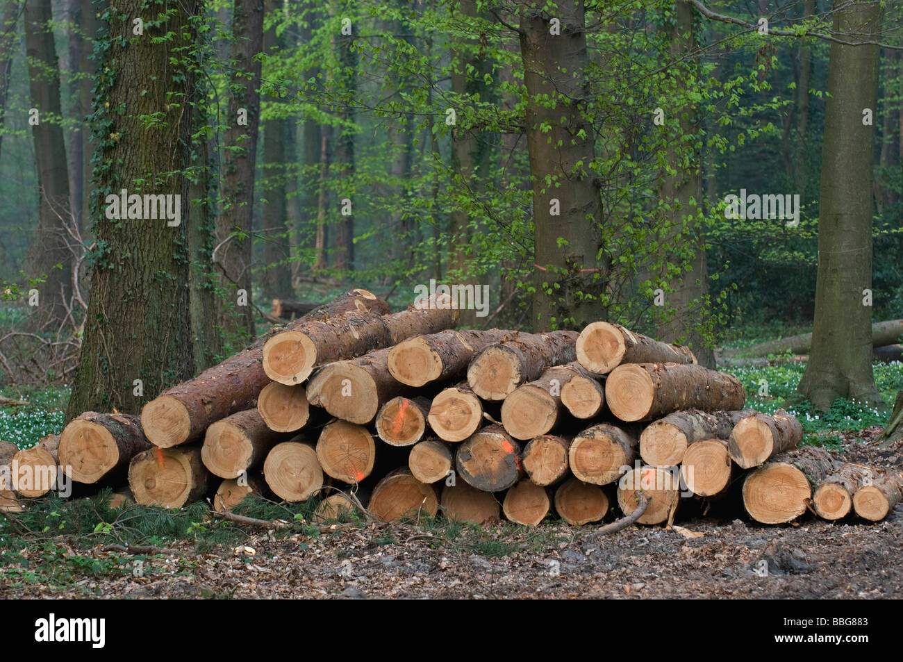 Freshly cut pine wood, red-marked trunks in the forest are available for pickup - Stock Image