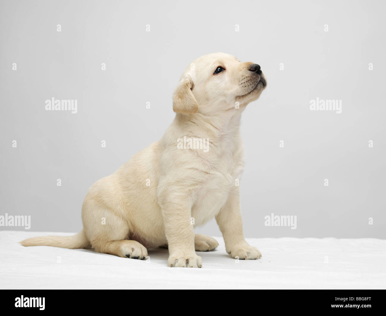 Single Labrador Puppy Sitting And Looking Up On A White Table