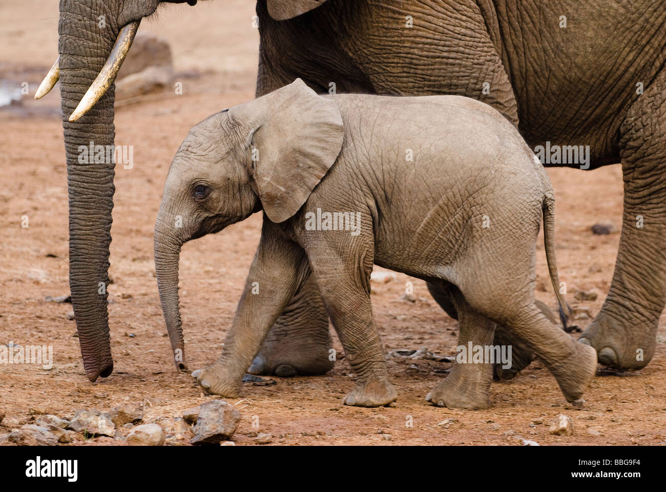 young African Elephant baby Loxodonta africana THE ARK ABERDARE NATIONAL PARK KENYA East Africa - Stock Image