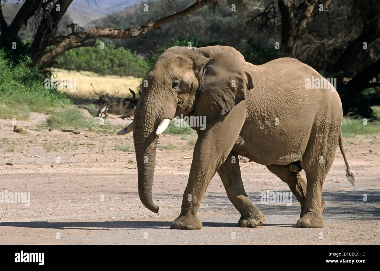 African Bush Elephant (Loxodonta africana), Namibia, Africa Stock Photo
