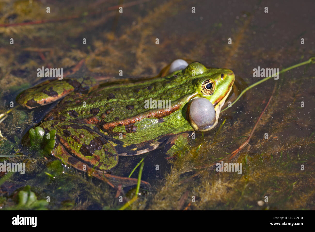 European edible frog (Rana esculenta), with inflated vocal sac - Stock Image