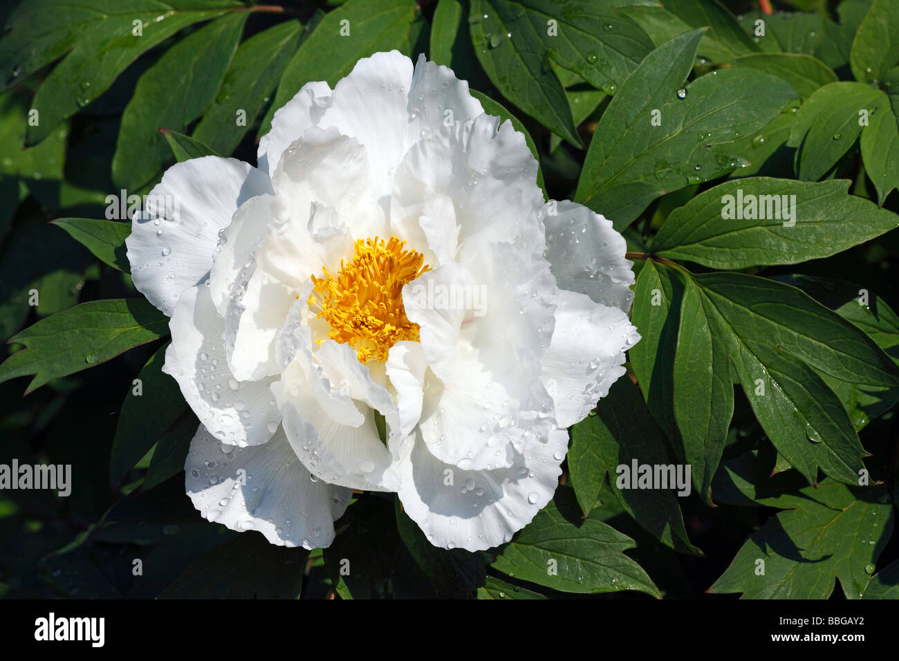 Flowering peony cultivar Hakubanryu, paeony hybrid (Paeonia suffruticosa hybrid Hakubanryu) Stock Photo