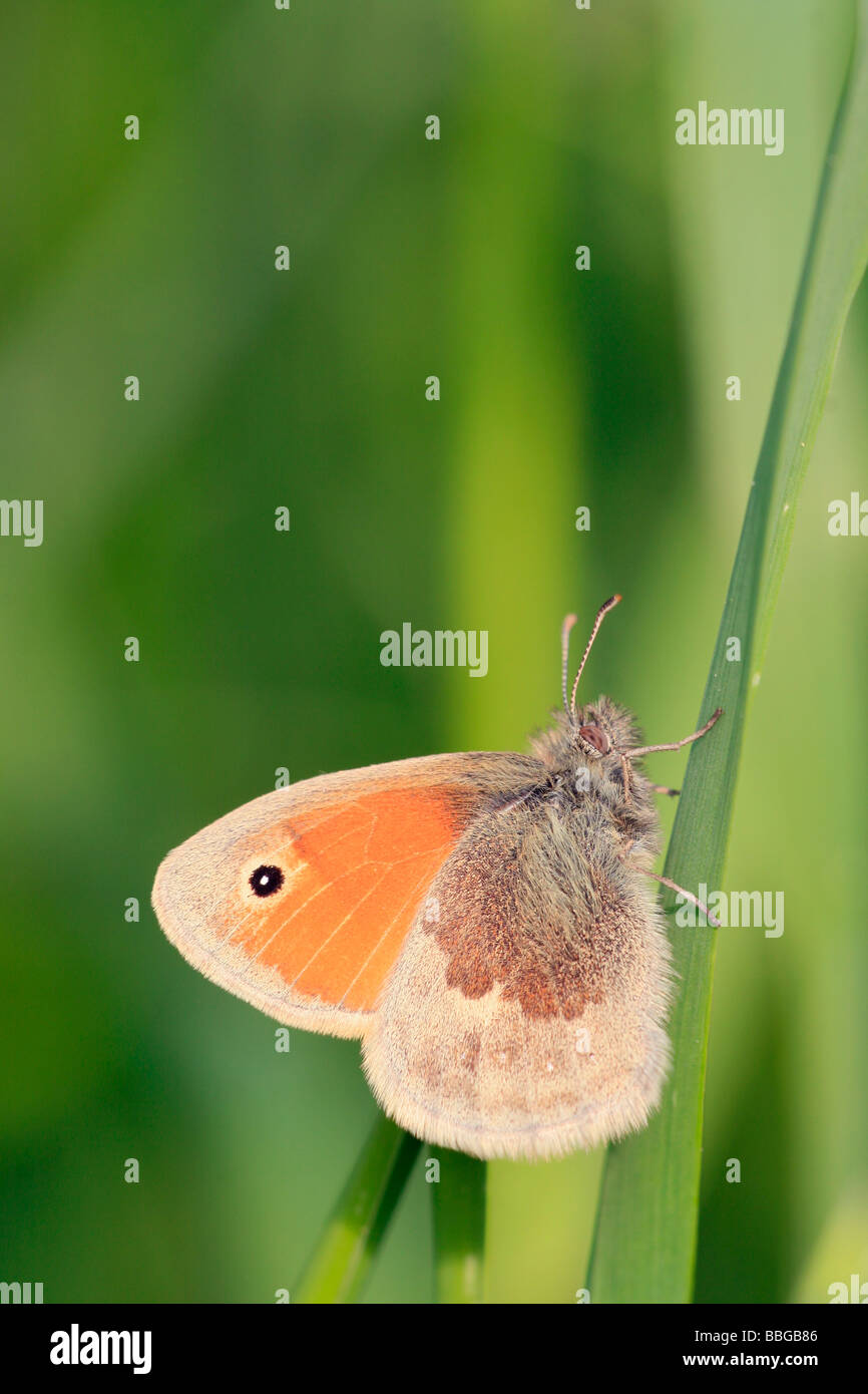 Small Heath (Coenonympha pamphilus) - Stock Image