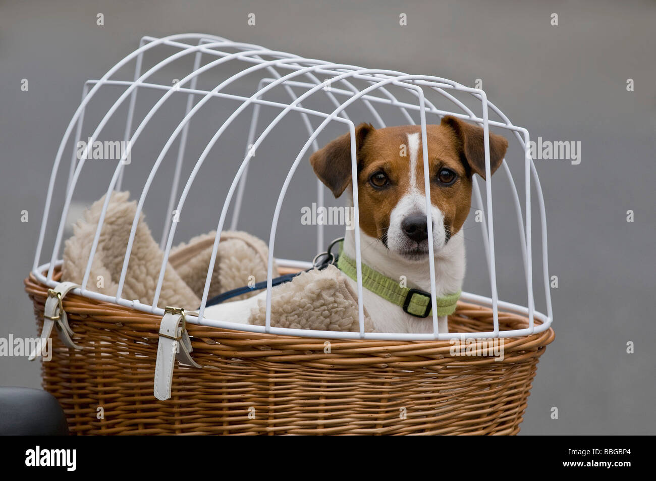 Jack Russell Terrier in bicycle basket with mesh lid looking at the viewer - Stock Image