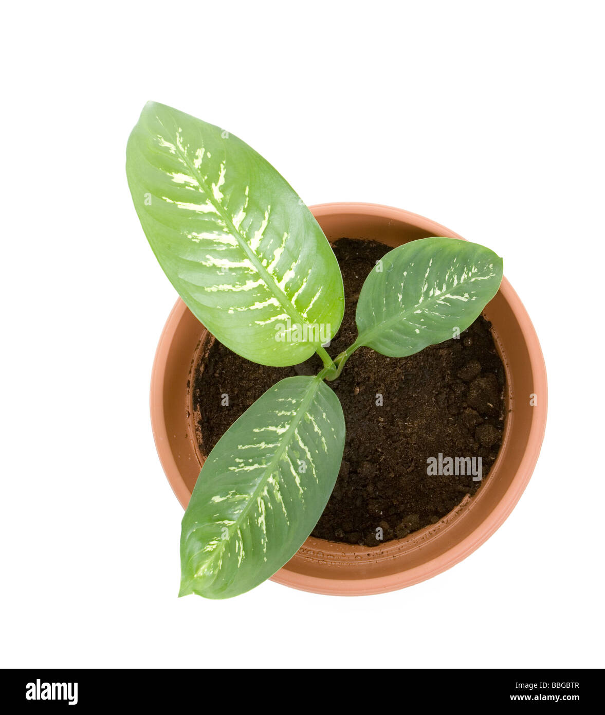 plant in flower pot Isolated on white background - Stock Image