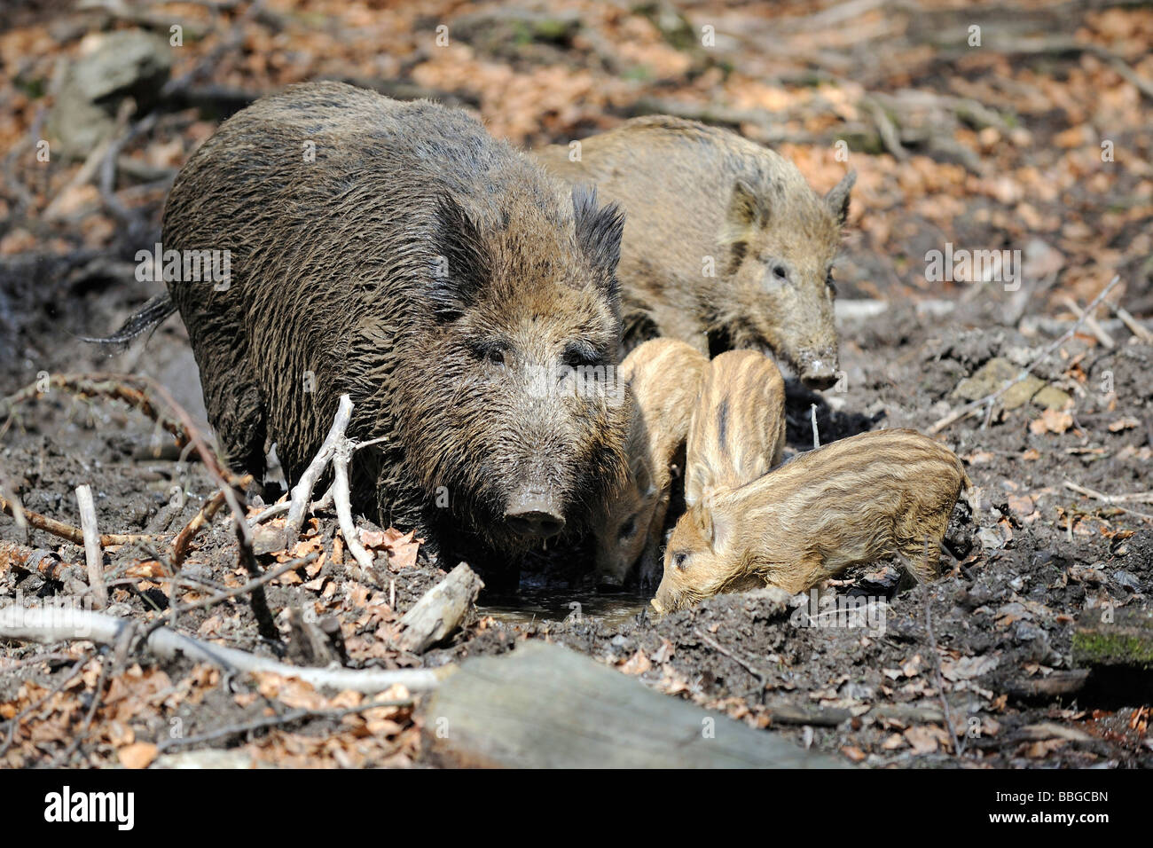Wild boar (Sus scrofa) and piglets - Stock Image
