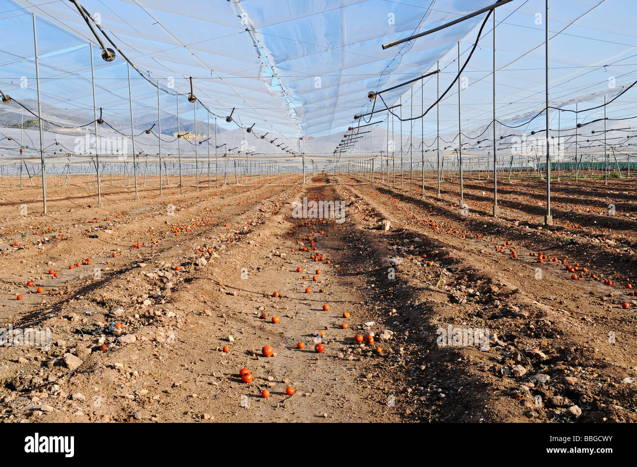 Tomato plantation after harvest, remains, single tomatoes, empty, harvested, earth, farming, agriculture, Costa - Stock Image