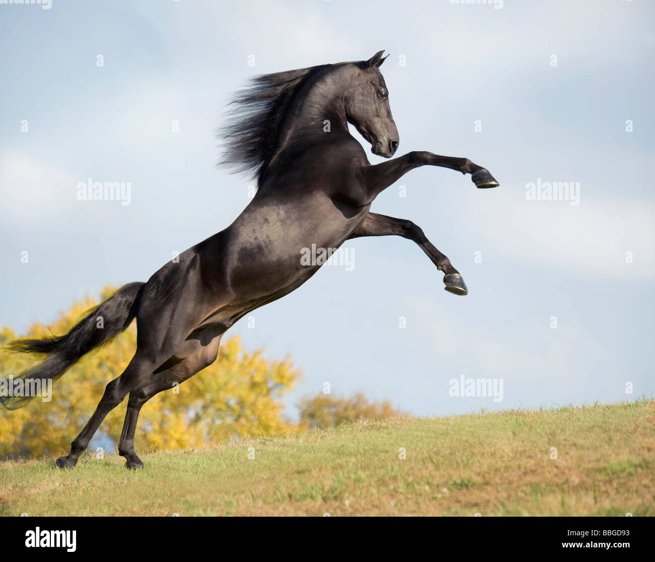 Morgan Horse stallion rearing on horizon - Stock Image