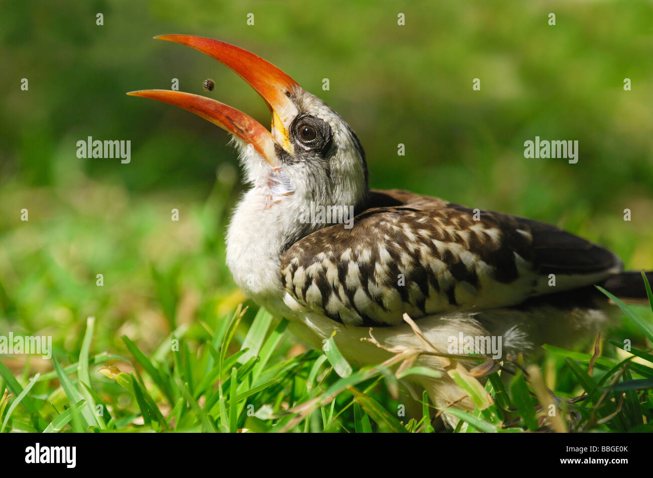 Red-billed Hornbill (Tochus erythrorhynchus) feeding on seeds in The Gambia - Stock Image
