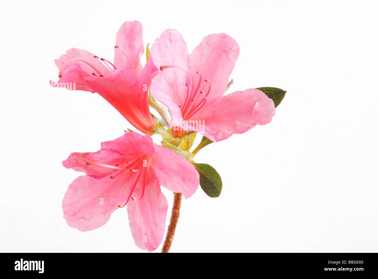 Japanese azalea - Stock Image