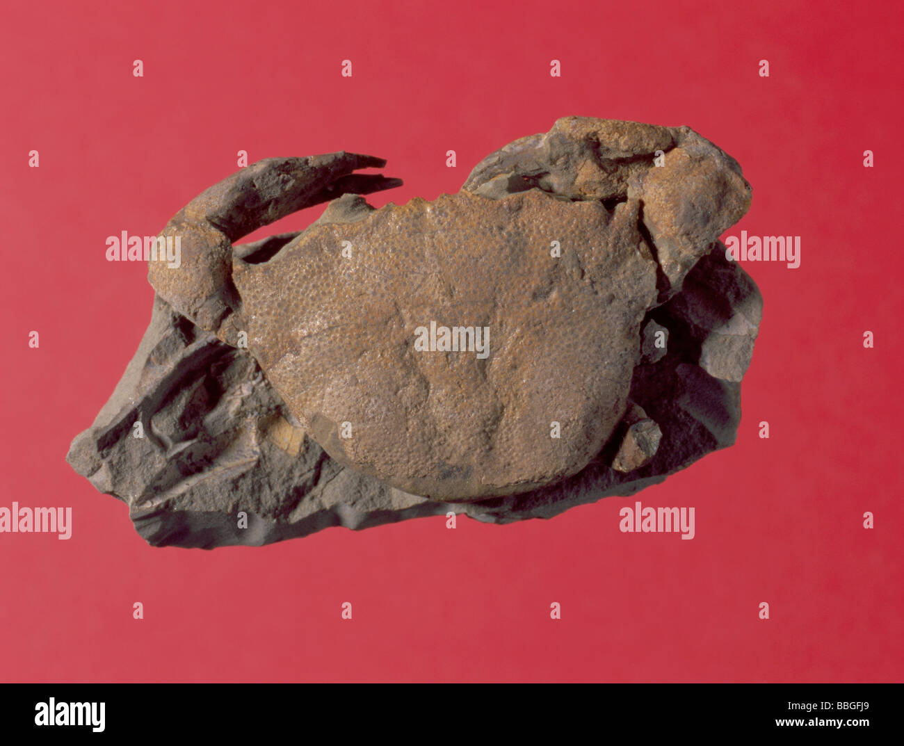 Fossil crab (Coeloma sp.) from Pliocene period, Italy. Length 65mm - Stock Image