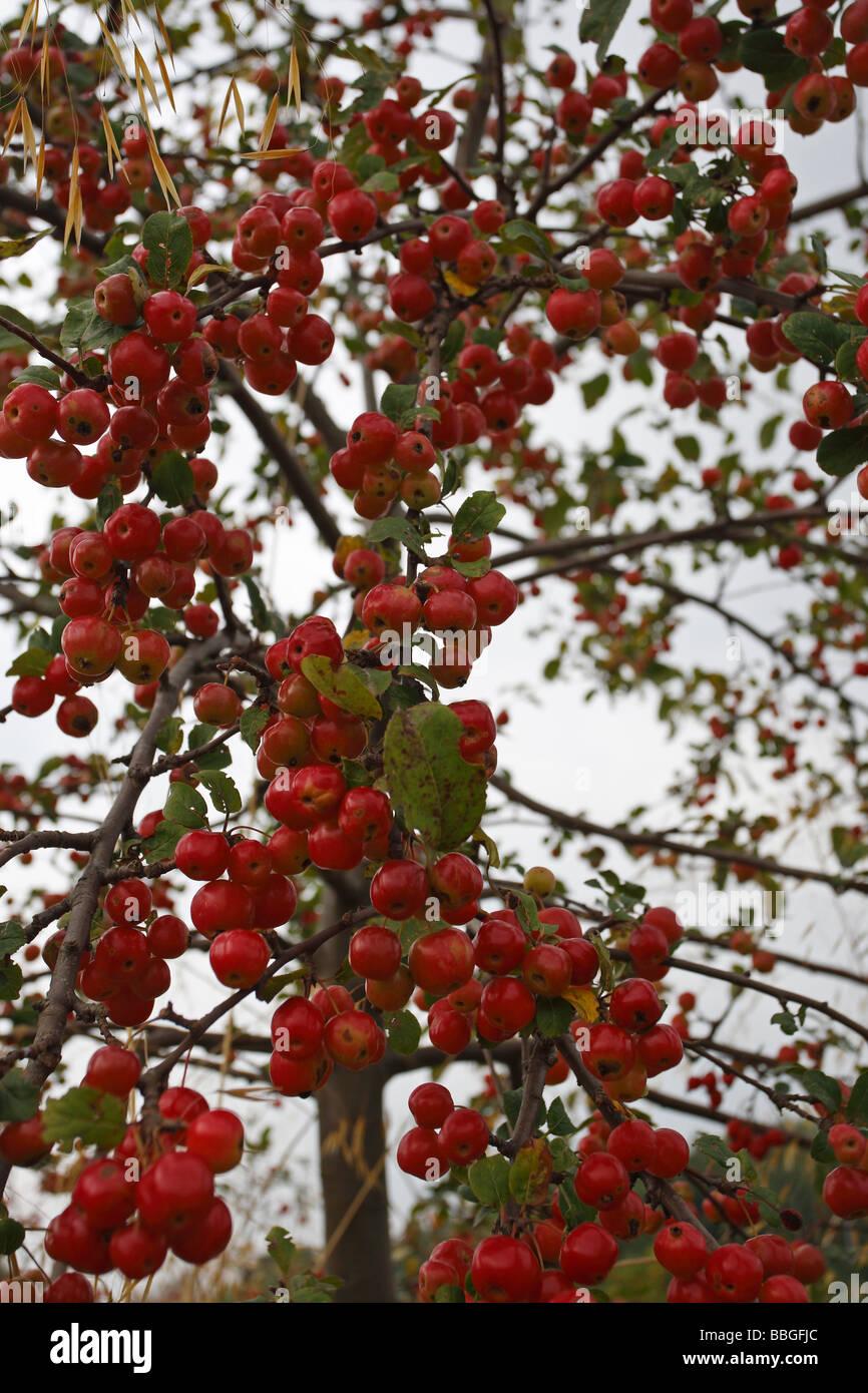 ORNAMENTAL APPLE JOHN DOWNIE TREE WITH FRUIT - Stock Image