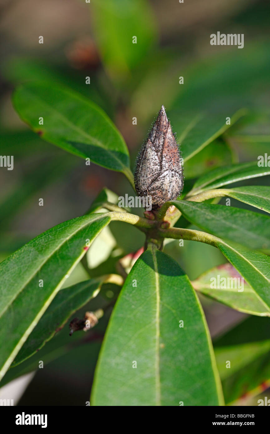 RHODODENDRON BUD BLAST Pycnostysanus axaleae ON RHODODENDRON - Stock Image