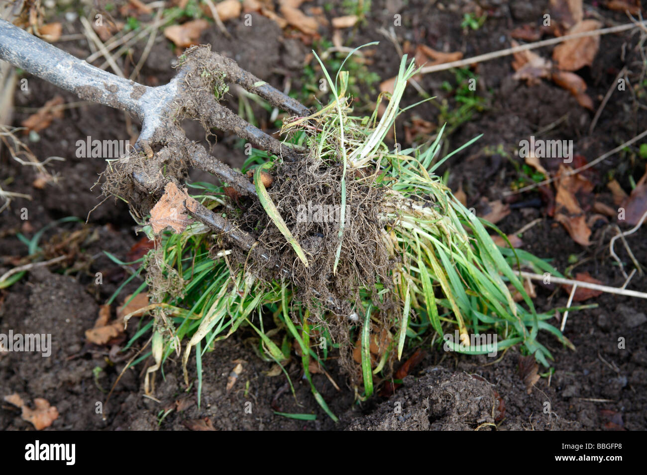 USING A FORK TO SHAKE SOIL FROM GRASS ROOTS - Stock Image