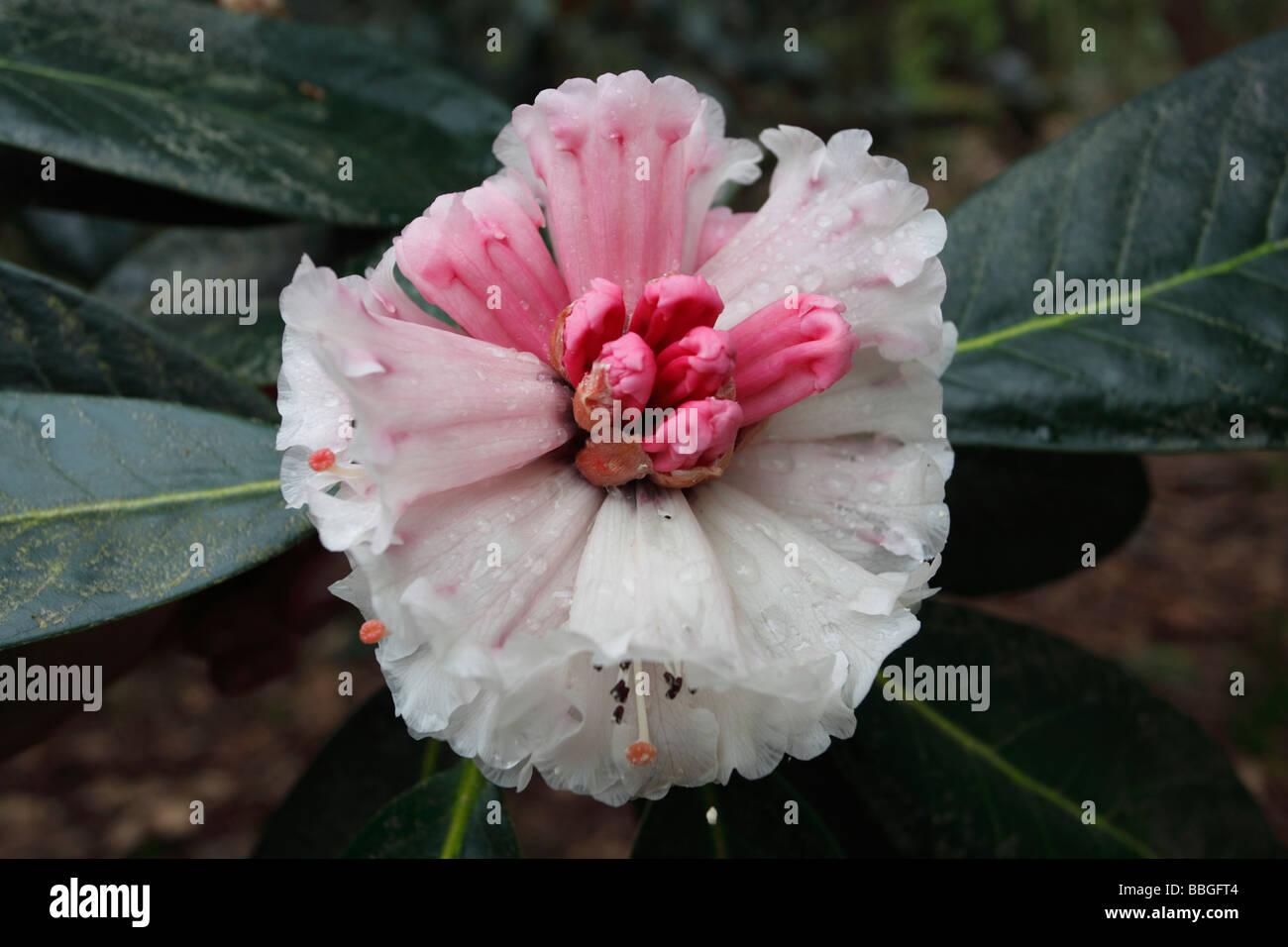 RHODODENDRON MACABEANUM CLOSE UP OF OPENING FLOWER - Stock Image