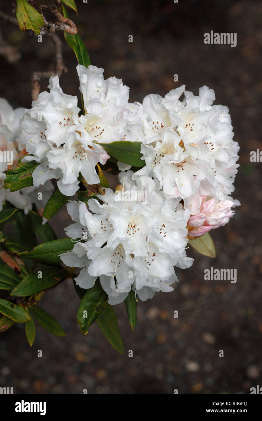 RHODODENDRON Nobleanum album CLOSE UP OF FLOWER - Stock Image