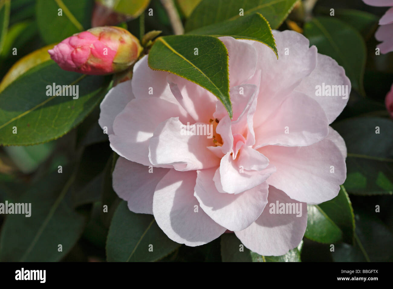 Camellia Charles Puddle CLOSE UP OF FLOWER - Stock Image