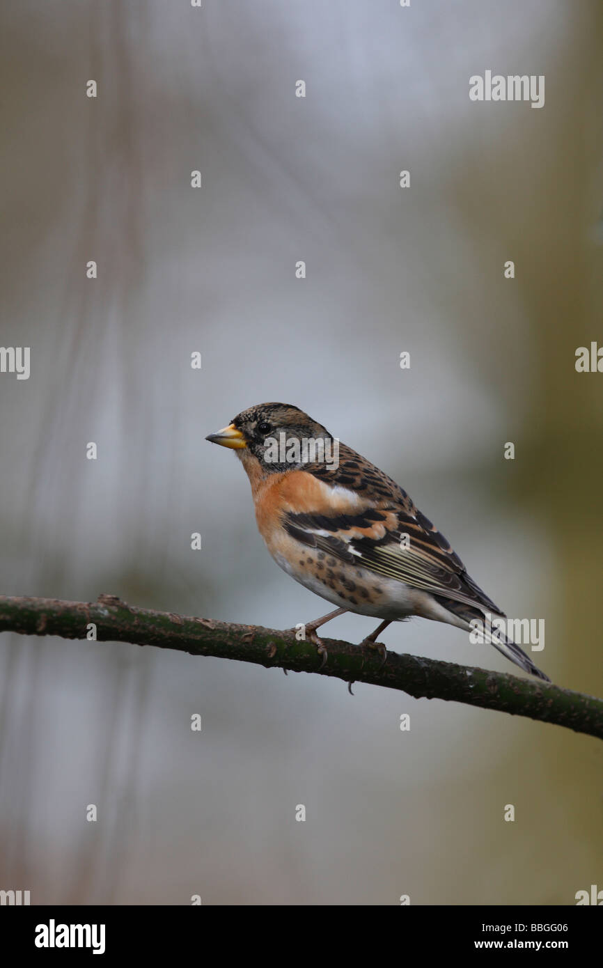 BRAMBLING Fringilla montifringilla FEMALE PERCHING ON BRANCH - Stock Image