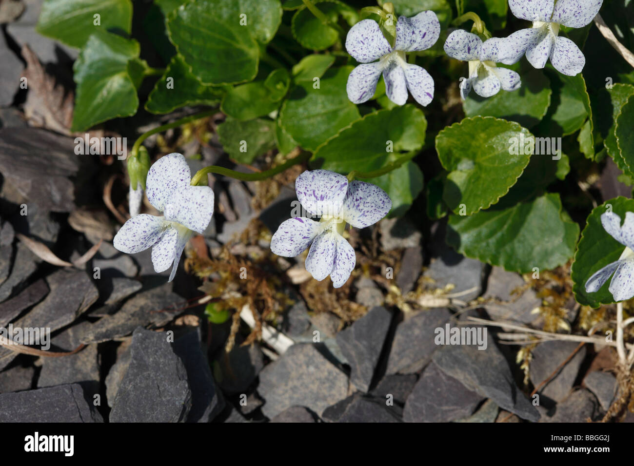 sweet violet Viola odorata close up of flowers Stock Photo