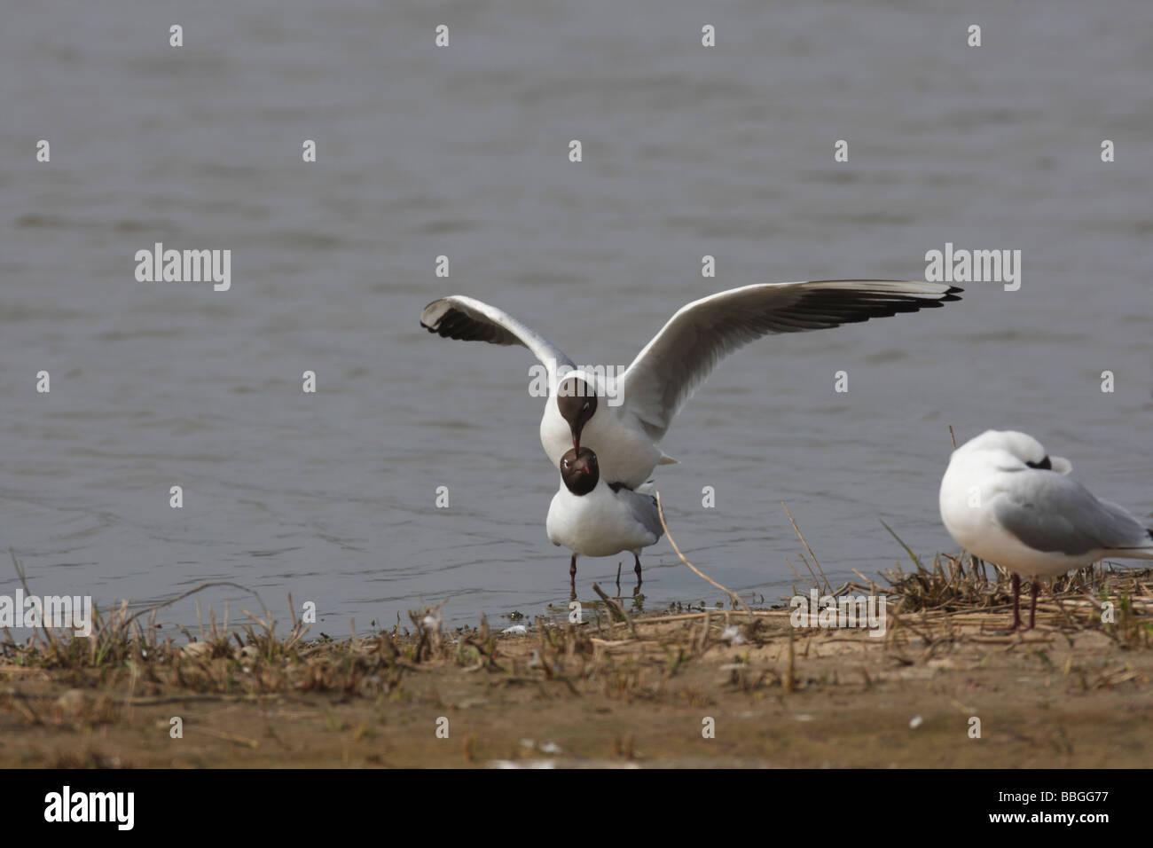 Black headed gull Larus ridibundus mating pair Stock Photo
