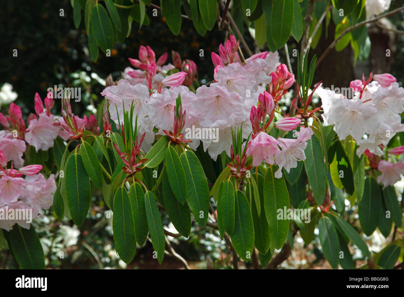 RHODODENDRON LODERI KING GEORGE CLOSE UP OF FLOWERS - Stock Image