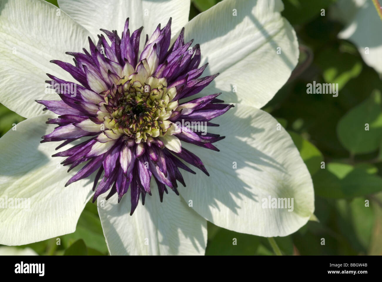 Flowers of Geraldton Wax (Chamelaucium uncinatum), Myrtaceae, Australia - Stock Image