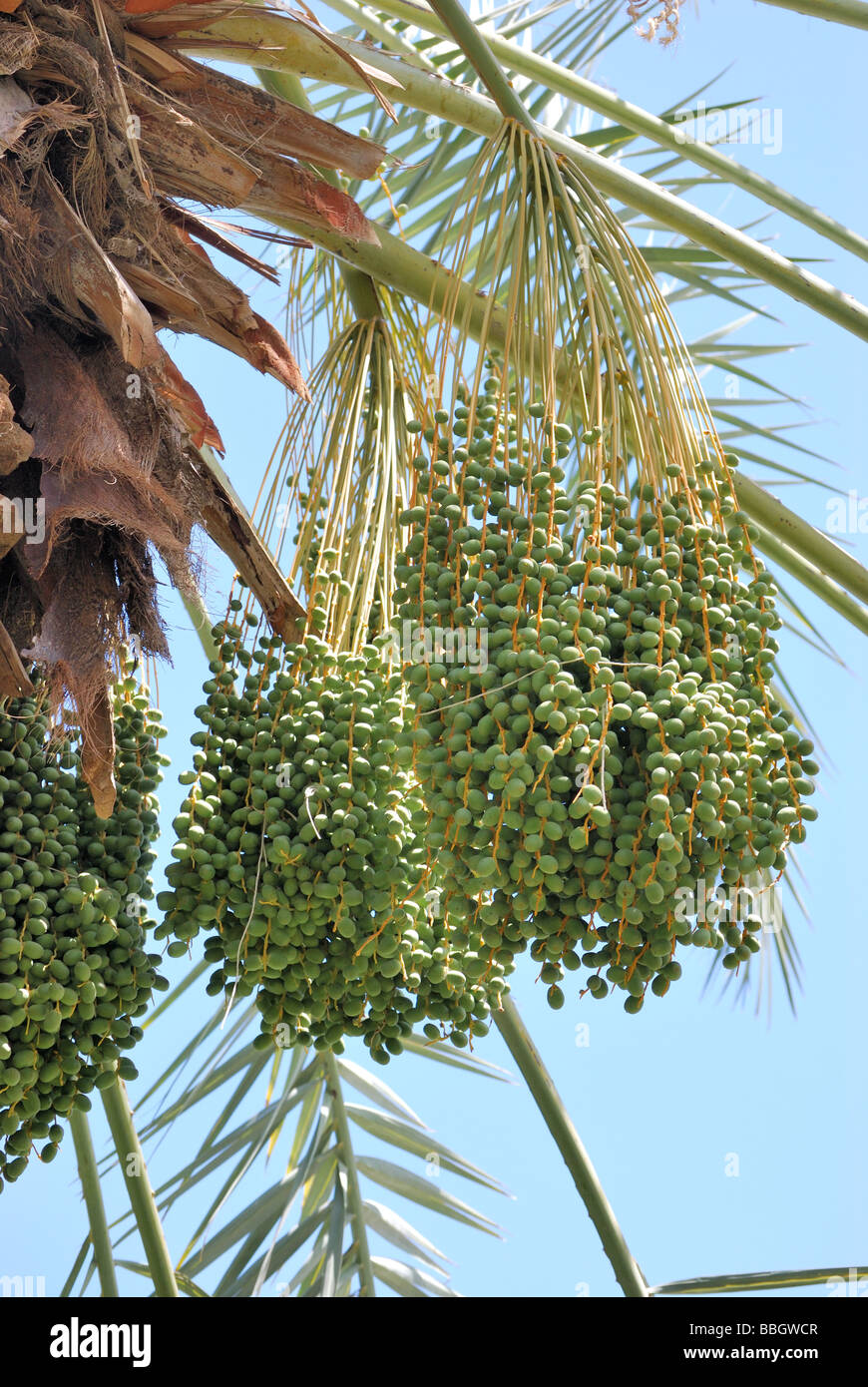 Dates growing at the Palm Arboretum Oasis date palm tree farm Thermal CA Stock Photo