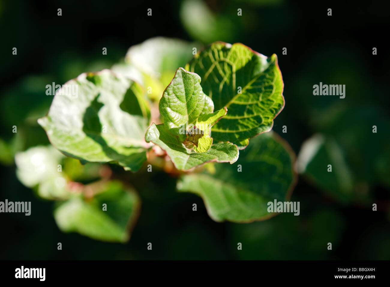Japanese Knotweed (Fallopia japonica) - Stock Image