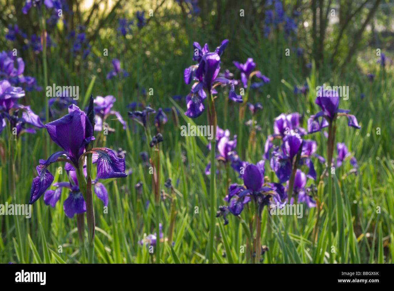 Lily Iris sp., Iridaceae - Stock Image