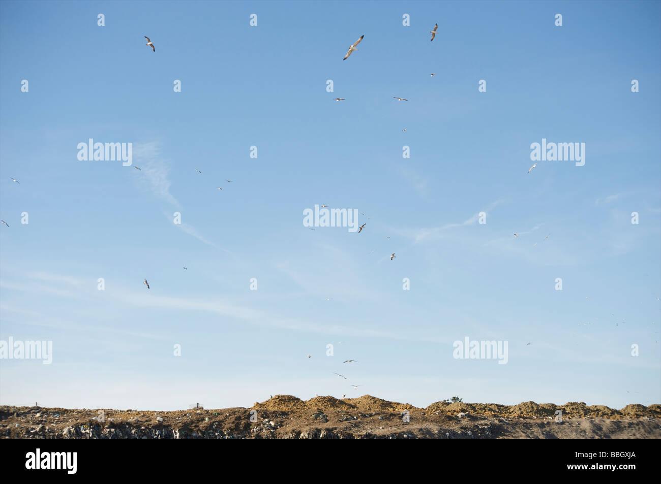 Seagulls fliyng on a garbage dump - Stock Image