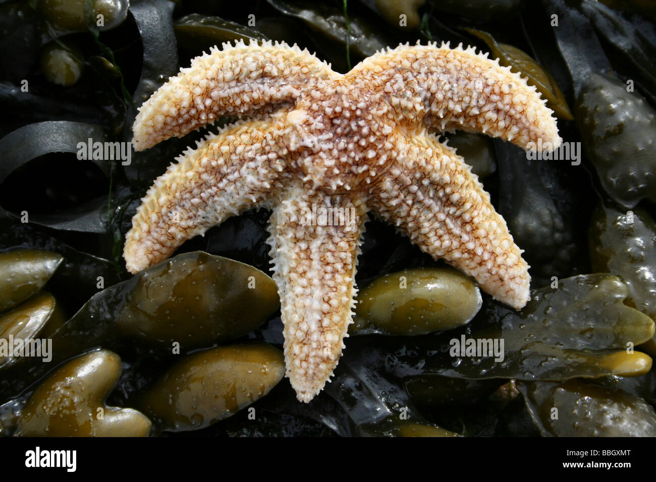 Common Starfish Asterias rubens On A Spiral Wrack Fucus spiralis Covered Rock At New Brighton, The Wirral, Merseyside, Stock Photo