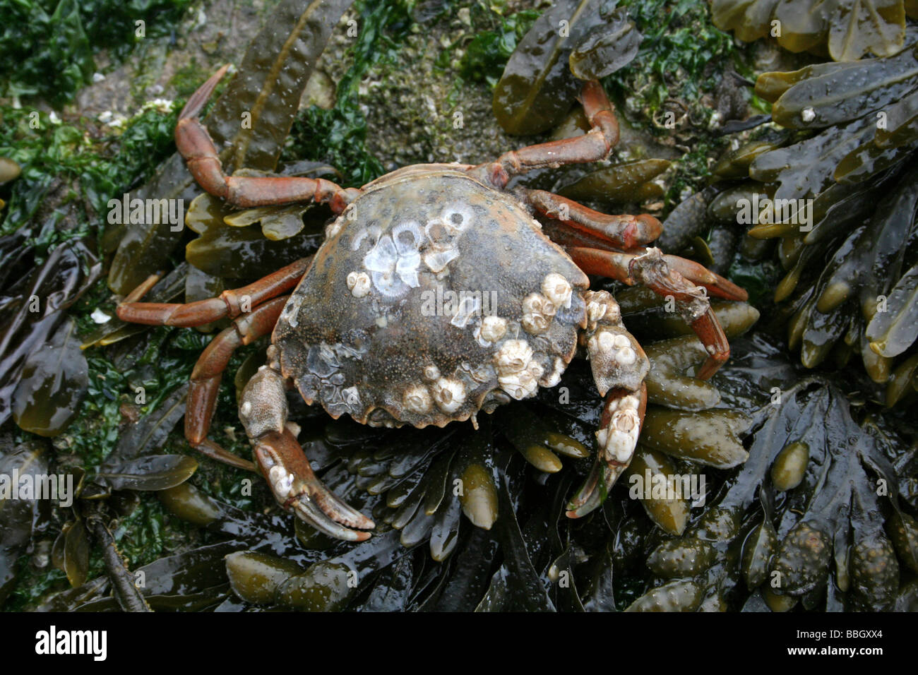 Common Shore Crab Carcinus maenas on Spiral Wrack Fucus spiralis Covered Rock Taken at New Brighton, The Wirral, Stock Photo