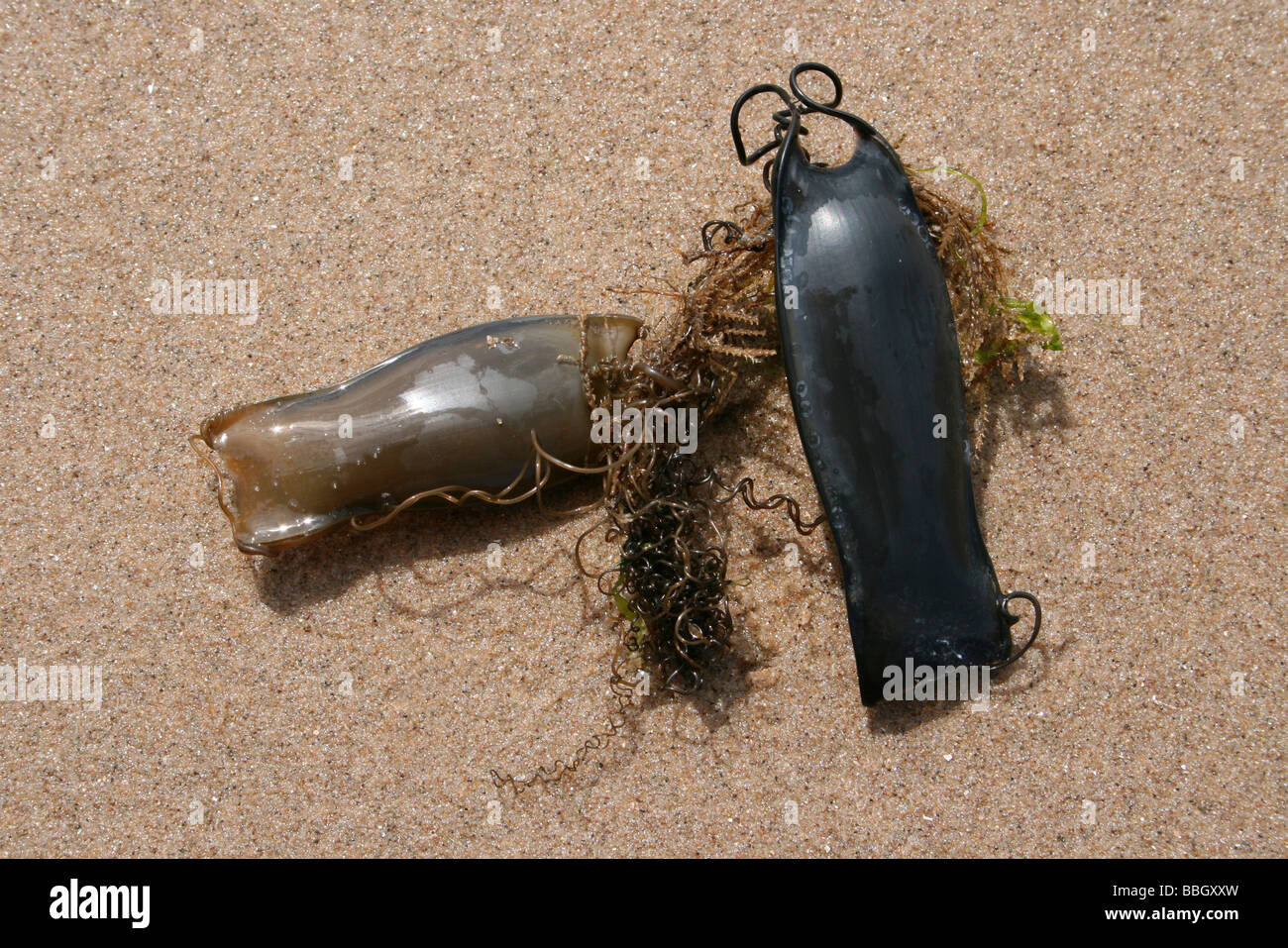 Two Mermaid's Purses:The Egg Cases Of A Lesser Spotted Dogfish Scyliorhinus canicula At New Brighton, The Wirral, Stock Photo