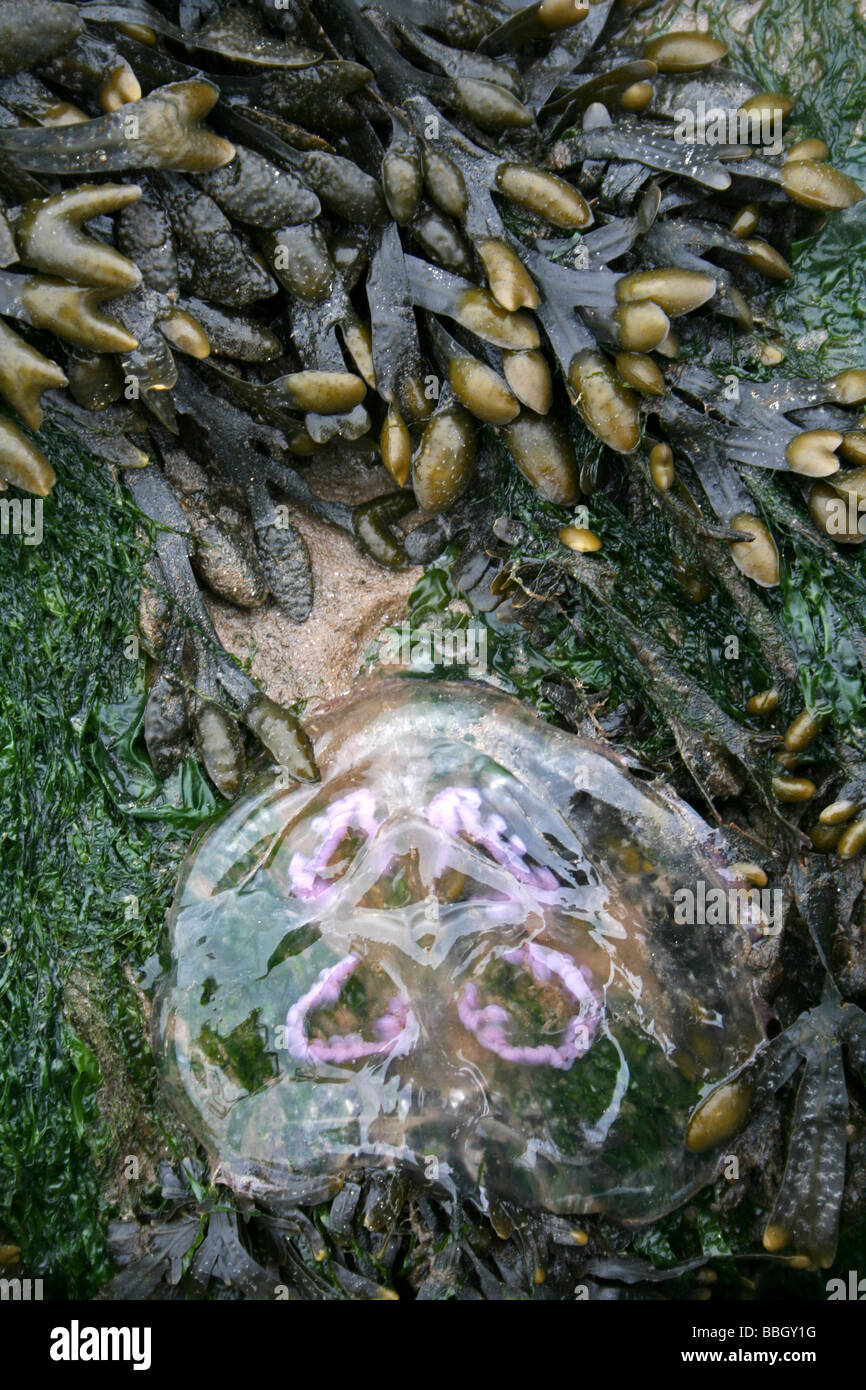 Moon Jellyfish Aurelia aurita Stranded On Spiral Wrack Fucus spiralis Covered Rock At New Brighton, The Wirral, Stock Photo