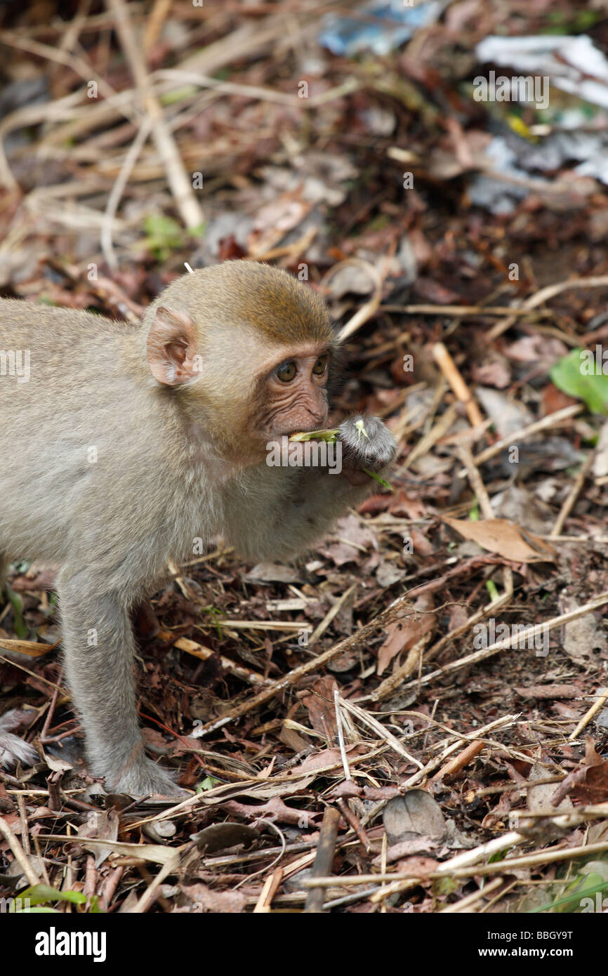 Young Macaque Monkey Foraging For Food On Forest Floor