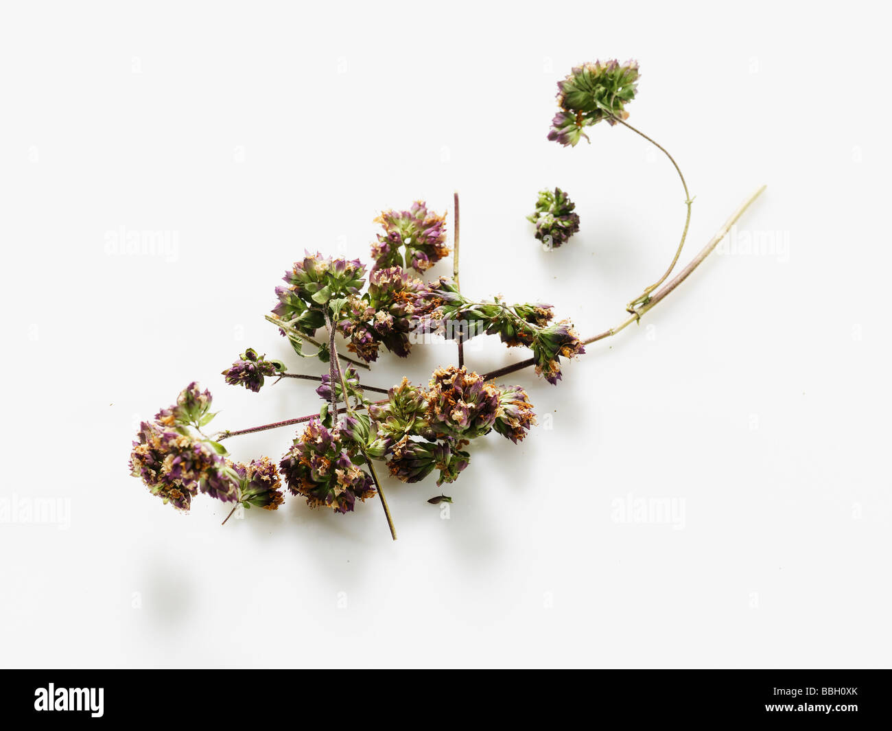 Flowering oregano on a white studio background - Stock Image