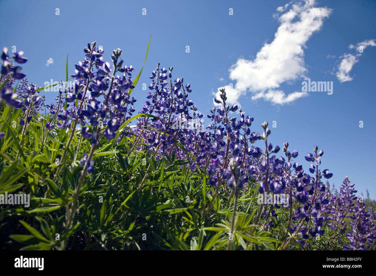 Wild Perennial Lupin Lupinus perennis at Rock Point Black Canyon of the Gunnison National Park Colorado USA - Stock Image