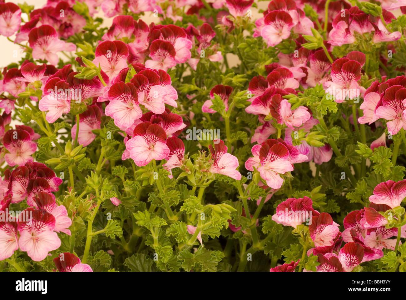 Pelargonium mini grandiflorum 'Tiptop Duet' Geraniaceae - Stock Image