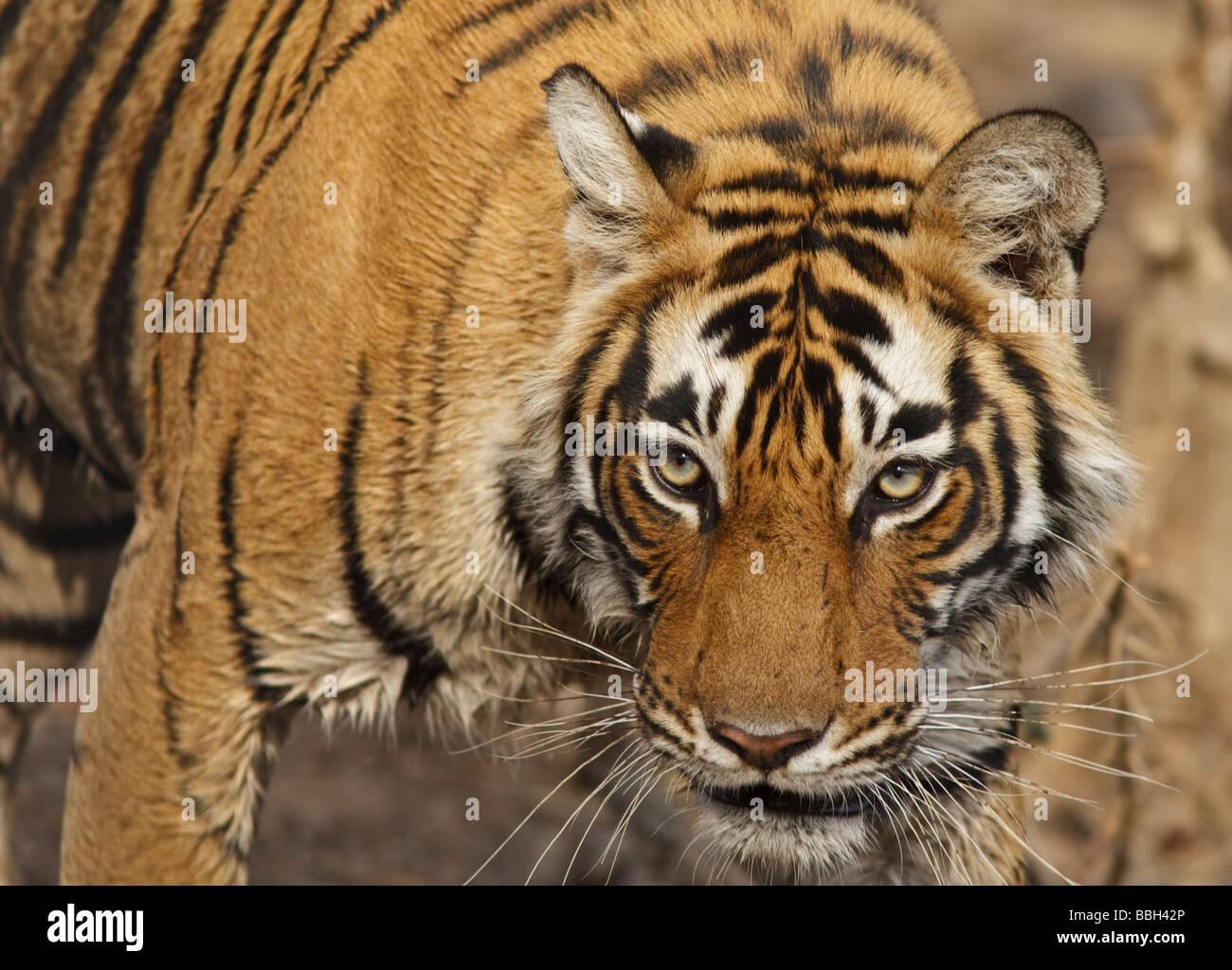Bengal tiger (Panthera tigris tigris) stalking through the bush in Ranthambore National Park Rajasthan India - Stock Image